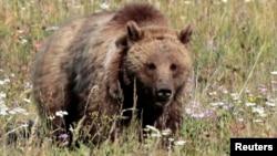 El Servicio de Pesca y Vida Silvestre autorizó permiso que dejaría que cazadores mataran a cuatro osos grizzly en Gran Teton.