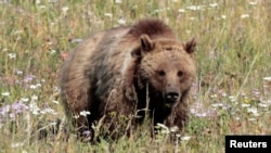 FILE - A grizzly bear walks in a meadow in Yellowstone National Park, Wyoming, Aug. 12, 2011.