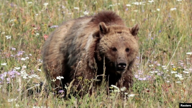 FILE - A grizzly bear walks in a meadow in Yellowstone National Park, Wyoming, August 12, 2011.