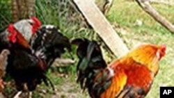 بھارت: برڈ فلو کا خطرہ، مرغیاں تلف کرنے کا حکم