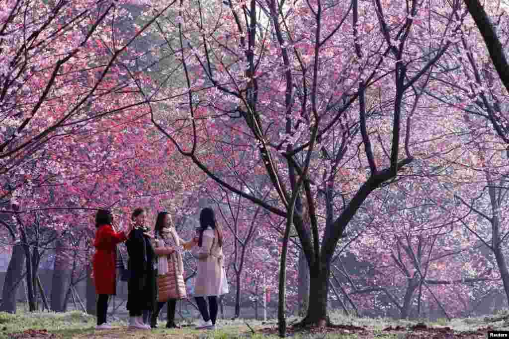 پارک شکوفه های گیلاس در چین
