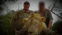 Americans Demand Lion Killer's Extradition to Zimbabwe