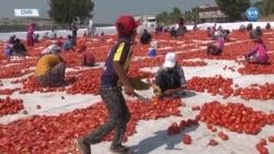 Torbalı'da Domatesler İhracat İçin Kurutuluyor