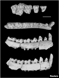 The left lower jaw of Yunnanadapis folivorus, one of six new fossil primate species found in southern China, is pictured in this undated handout photo from Xijun Ni/Chinese Academy of Sciences