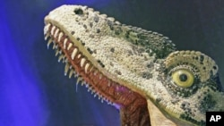 The reconstructed head of a Dromaeosaur-like Theropod dinosaur, complete with saliva, is seen after opening of Australia's first permanent dinosaurs exhibition at the Australian Museum, Sydney, March 14, 2008 (file photo)