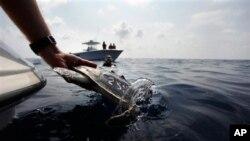 科研人员把曾经受到浮油影响的海龟放回墨西哥湾