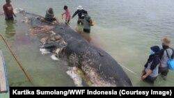Para relawan memindahkan dan menguburkan bangkai paus sperma yang terdampar di Pulau Kapota, Wakatobi, Sulawesi Tenggara, 20 November 2018. (Foto: Kartika Sumolang/WWF Indonesia)