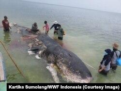 FILE - Para relawan memindahkan bangkai paus sperma yang terdampar di Wakatobi, Sulawesi Tenggara.