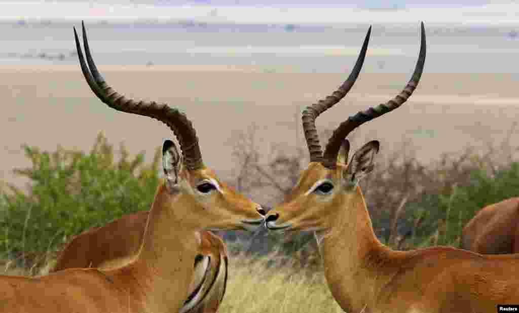Antelopes are seen at the Maasai Mara National Reserve in Narok County, Kenya.