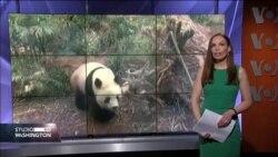 SVIJET ŽIVOTINJA: U Kanadi pande povezuju države. U Njemačkoj prohodalo mladunče ugroženog medvjeda naočara