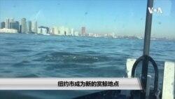 纽约市成为新的赏鲸地点