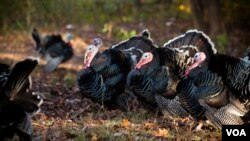 The Thanksgiving turkey has made a circular journey, from its origins in Mexico to Europe and back to North America. (Alison Klein/VOA)