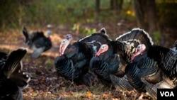 感恩节火鸡从原产地墨西哥到欧洲再回北美作巡游