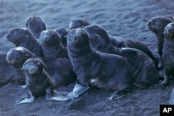 This August 2019 photo released by the National Oceanic and Atmospheric Administration Fisheries (NOAA) shows northern fur seal pups standing on a beach on Bogoslof Island, Alaska. (Maggie Mooney-Seus/NOAA Fisheries via AP)