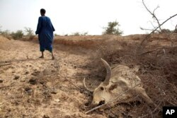 FILE - A herder walks away after showing where he says one of his cows died of starvation in Africa's Sahel region, May 1, 2012.