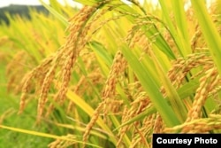 Golden Rice was designed to counteract vitamin A deficiencies.