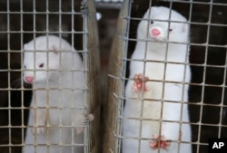 In this Dec. 6, 2012, file photo, minks look out of a cage at a fur farm in the village of Litusovo, northeast of Minsk, Belarus. The Dutch government said Friday Aug. 28, 2020, it is bringing forward the mandatory end of mink farming in the country by th