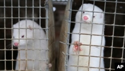 In this Dec. 6, 2012, file photo, minks look out of a cage at a fur farm in the village of Litusovo, northeast of Minsk, Belarus. The Dutch government said Aug. 28, 2020, it is bringing forward the mandatory end of mink farming in the country.