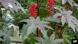 El ricino es un veneno extraído de las semillas del arbusto del mismo nombre, una planta bastante común en regiones cálidas.
