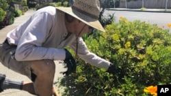 In this march 20, 2020 photo, Larry Friedman weeds his garden in Santa Cruz, California. (AP Photo/Martha Mendoza)