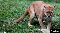 A puma is pictured at the Caricuao Zoo in Caracas, Venezuela, July 12, 2016.