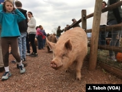 Rescued pigs live a carefree – and happy -- life at Poplar Spring Animal Sanctuary. The 174-hectare refuge is also home to about 200 other abused and abandoned farm animals, including goats, geese, sheep and turkeys.