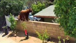 Дівчина з Каліфорнії, аби захистити своїх собак, голіруч кинулася на ведмедицю. Відео