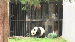 大熊猫美香接受人工授精 或迎第四胎