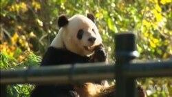 Melania Trump, rencontre des pandas à Beijing (vidéo)