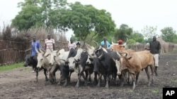 Young men herd cattle through the mud-caked streets of Pibor, as cattle raiding between some of the south's dozens of tribes plagues South Sudan. (File Photo)