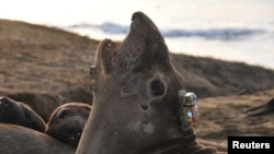 A bio-logging electronic tag to track its deep-ocean foraging behavior is seen attached to the head of a female northern elephant seal at Ano Nuevo State Park in California, U.S. in an undated photograph. (Daniel Costa/Handout via REUTERS)