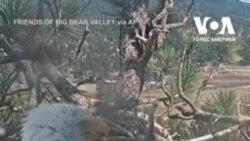 Пара білоголових орланів доглядає за одним яйцем у своєму гнізді на вершині сосни в горах Південної Каліфорнії. Відео