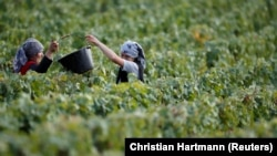 FILE: Workers collect grapes in a Taittinger vineyard during the traditional Champagne wine harvest in Pierry, near Epernay, France