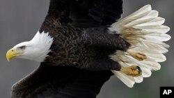 Un águila calva como la de la foto pudo haber chocado con una avioneta en Alaska, antes de precipitarse ésta a tierra.