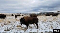 ຝຸງງົວກຳລັງກິນຫຍ້າ ໃນອຸດທະຍານແຫ່ງຊາດ Theodore Roosevelt National Park. ສວນແຫ່ງນີ້ແບ່ງອອກເປັນສາມເຂດ. ເຂດຕອນໃຕ້ ມີເນື້ອທີ່ 46,158 ເອເກີ້ ແລະເຂົ້າຊົມໃຊ້ໄດ້ໃນທາງເຂົ້າເບື້ອງ ເມດໍຣາ ລັດດາໂກຕາເໜືອ. (Matt Haines/VOA)