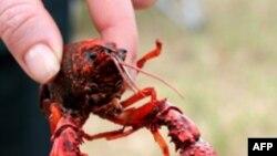 Crawfish có thể giúp ngành thủy sản bang Louisiana sau vụ dầu loang