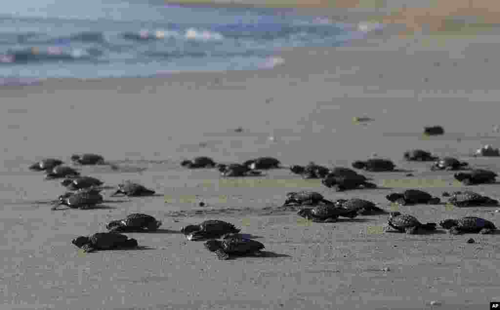 Dozens of newly hatched baby Lekang turtles are released into the ocean during a campaign to save the endangered animals, in Bali, Indonesia.