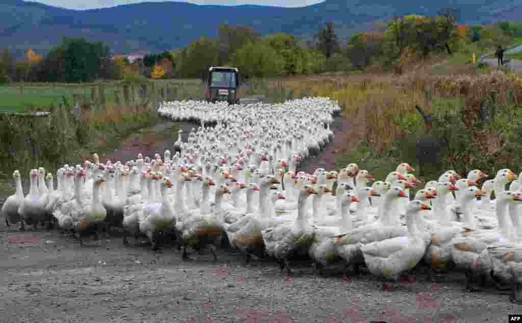 Geese of the Landi GmbH poultry farm are driven to their barn on Oct. 21, 2013 in Veckenstedt, central Germany. The company brings up around 8,000 geese per year. Roast goose is a traditional dinner in Germany at Christmas and Martinmas.