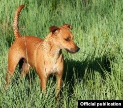 Một trong những dạng của chó Hottentot/KhoiKhoi hiện nay (Hình: Taken by Rudolph Botha, 2005/12/04, Pretoria, South Africa. License)