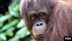 Menurut Greenpeace, Sinar Mas ikut bertanggung jawab atas semakin terdesaknya satwa seperti orangutan ini.