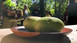 Paw Paw Festival Features the Exotic Fruit Enjoyed By Native Americans