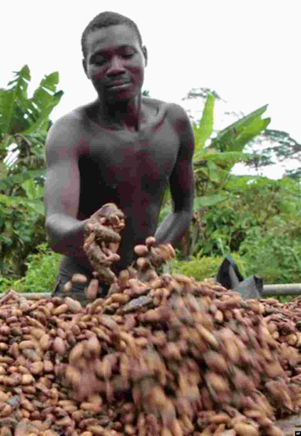Farmer Issiaka Ouedraogo arranges cocoa beans, laid out to dry on reed mats, on a cocoa farm outside the village of Fangolo, near Duekoue Ivory Coast, May 31, 2011.