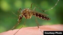 Hình minh họa - Muỗi có thể mang virus Zika.