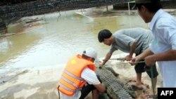 Krokodili uživaju u toploj vodi