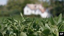 美国弗吉尼亚州,大豆种植在农舍前的田间。(2018年9月7日)