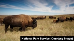 Bison numbers are recovering. These are in Theodore Roosevelt National Park, North Dakota.