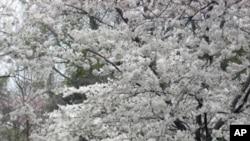 今年华府的樱花提前盛开。图为华盛顿潮汐湖旁3月18日的樱花盛景