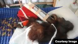 Konflik orangutan dan manusia di Kalimantan (Foto: Yayasan IARI)
