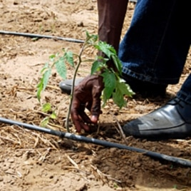 In a drip irrigation network, holes in the long hoses deposit precise amounts of water to each sprout