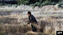 Một cậu bé gặt lúa mì trong cánh đồng của gia đình ở ngoại ô thủ đô Kabul, Afghanistan